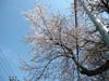 h21.4.19桜 のコピー.jpg