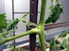 h21.6.20家庭菜園05 のコピー.jpg
