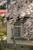 h22.5.5水道記念館と満開ソメイヨシノ01 のコピー.jpg