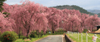 h22.5.8米内浄水場しだれ桜1-01 のコピー.jpg
