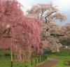 h22.5.8しだれ桜とソメイソシノの共演01 のコピー.jpg
