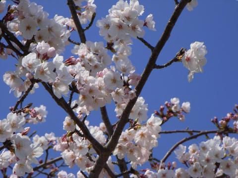 090402-Sakura