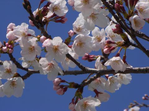 090403-Sakura