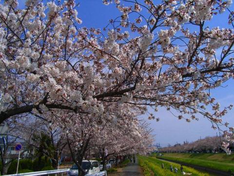 090404-Sakura