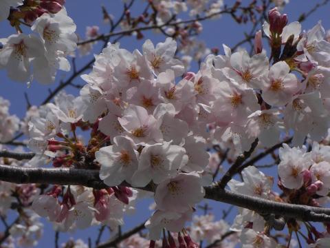 090406-Sakura