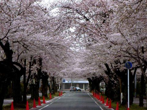 090411-Sakura