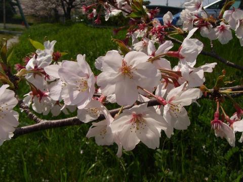 090412-Sakura