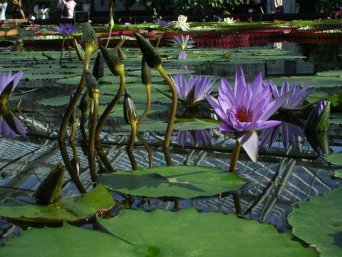 080106-water lily01