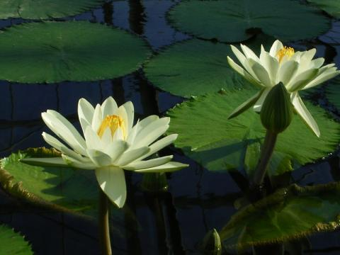 080106-water lily02