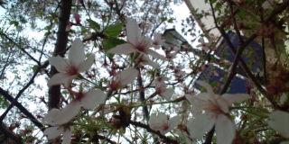 20110418_豚座_桜
