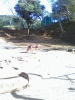 アカカンガルー