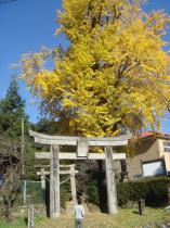 立派な銀杏の木81123
