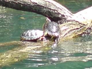 20090902 琵琶ヶ崎に居たカメ
