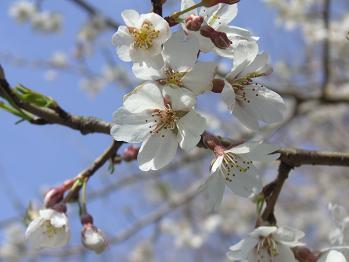 桜もチラホラと