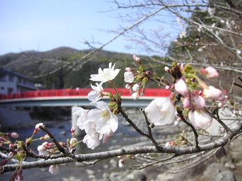 待月橋と桜