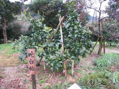 晩白柚の木