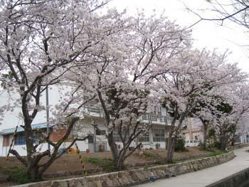 彼杵の庄 桜