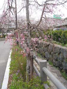 彼杵の庄 桜2