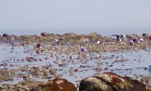 牡蠣取り風景