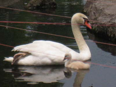 白鳥の親子1