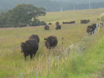 阿蘇の黒牛2