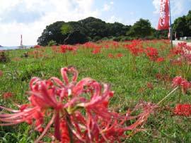 竜串ひがん花まつり