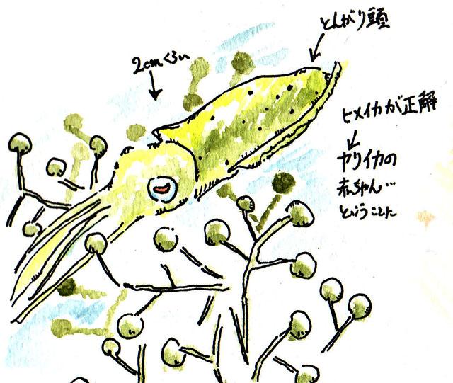 20090421_イカ_ヒメイカ