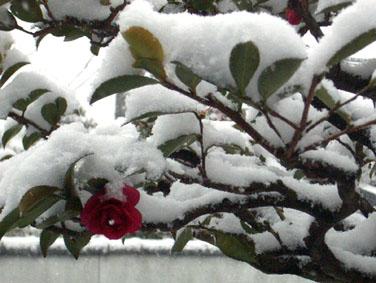 Feb.09,08寒椿名古屋より
