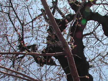 08322桜in yakumo