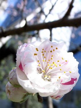 08327桜ヶ丘の桜_2