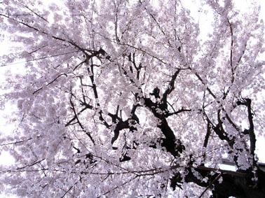 08329大安八雲桜_2