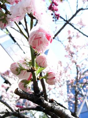 08327桜ヶ丘の桜_1