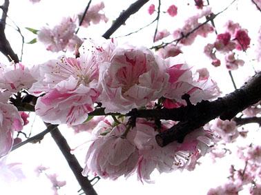 0841桜ヶ丘隠れ桜_4