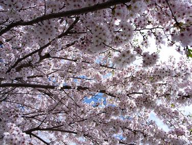08418八ヶ岳の桜_2