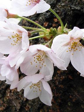 08418八ヶ岳の桜_4