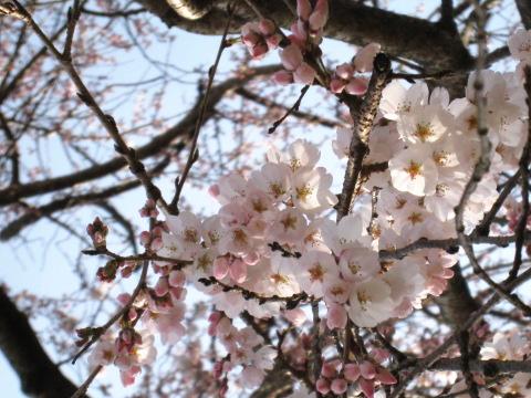 枝垂れ桜デス♪