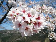 桜かわいい~