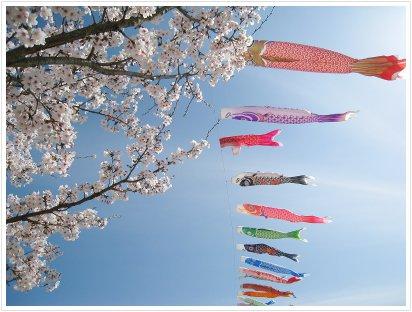桜と鯉のぼり☆