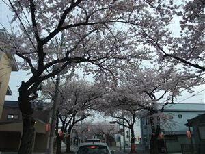桜ドライブスルー