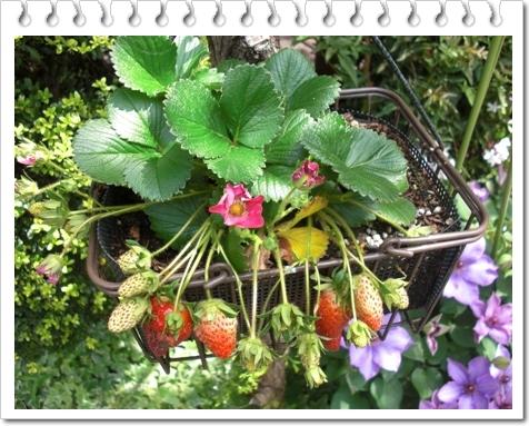 四季咲き苺