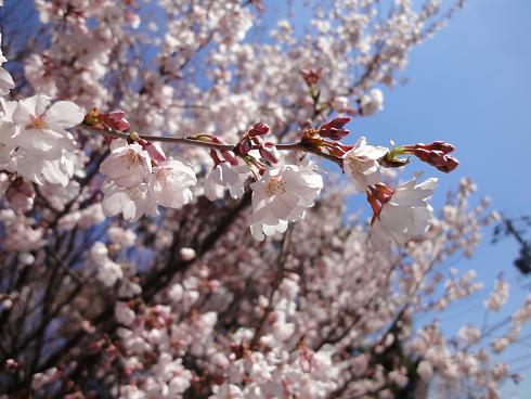 大山緑地の桜_3/27