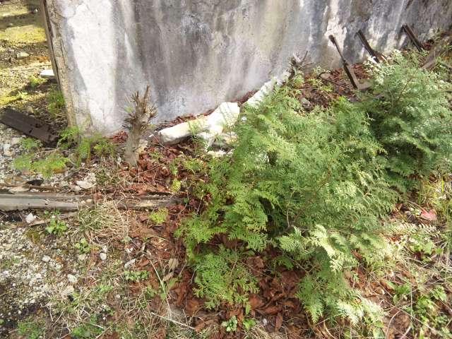 110502_1652 バルコニーに生えるヒノキの幼木