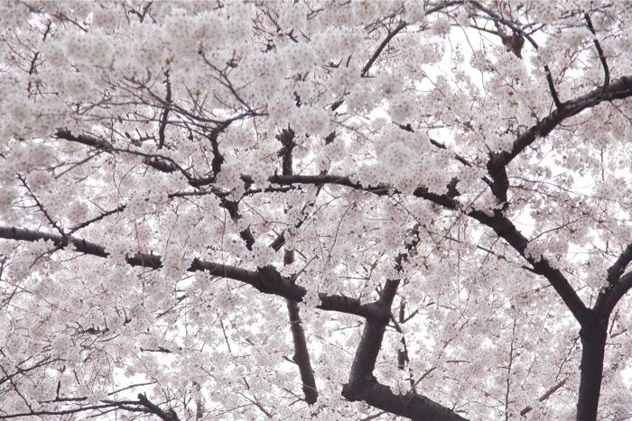 sakura2011-2