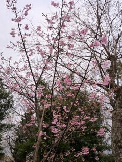 河津桜(?)