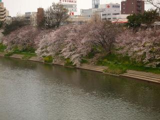 明代橋より菅生川の桜を見る