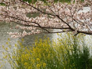 菅生川の桜