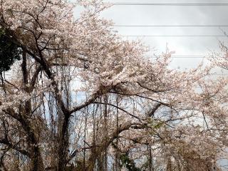 愛環沿いの桜