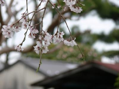 菩提寺の桜