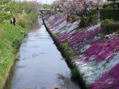 芝桜 その1