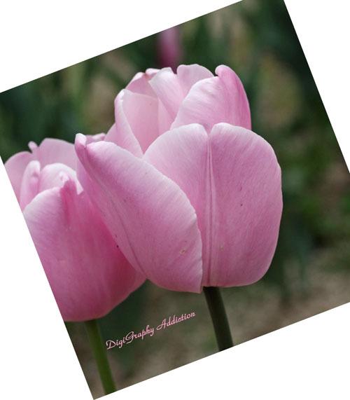 0423-pink tulip